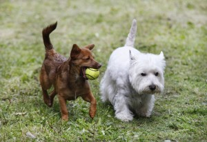 Hundepension Westie