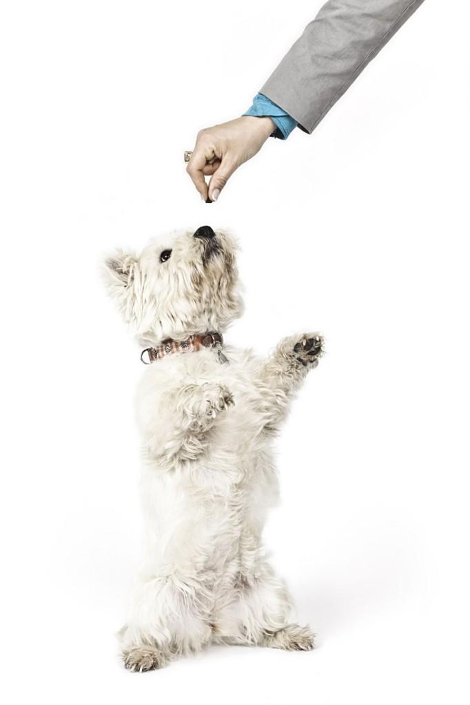 white Terrier Leckerlie