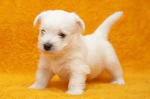 West High White Terrier Deckrüden