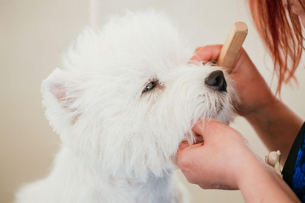 Westie Augenpflege