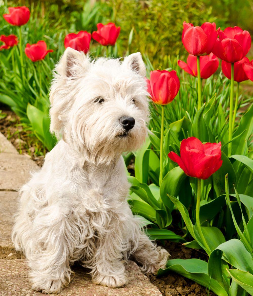 Westie Hund kaufen