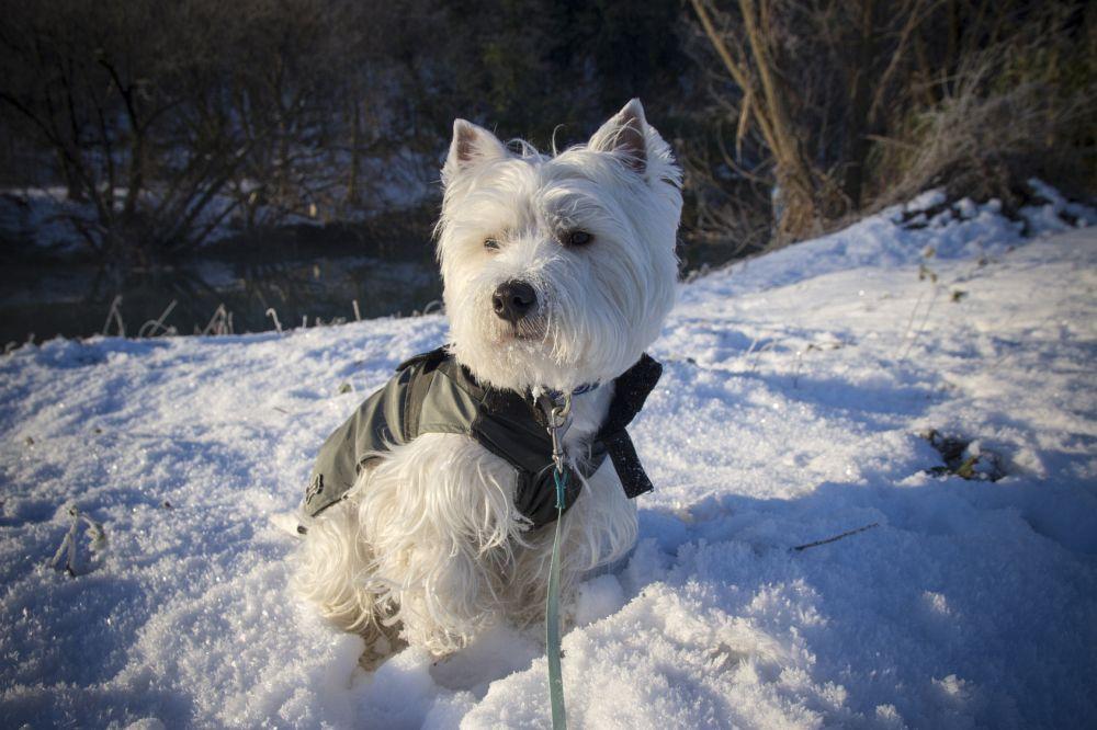 Westie Winter Pfotenpflege