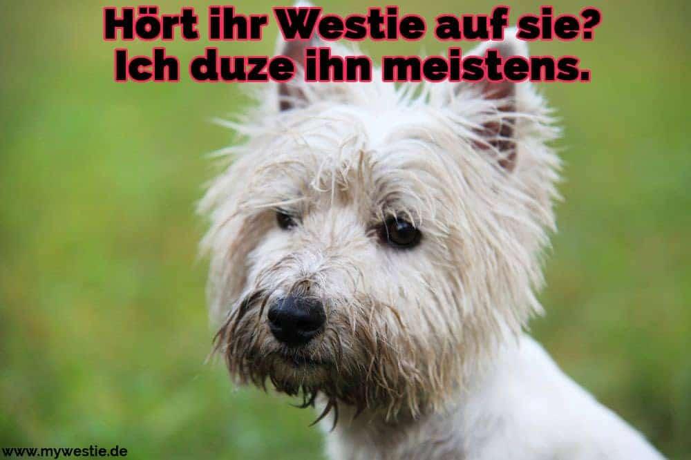 Ein trauriger Westie auf dem Rasen