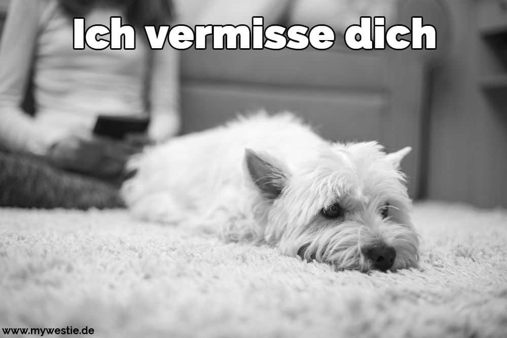 Ein Westie liegt auf dem Teppich