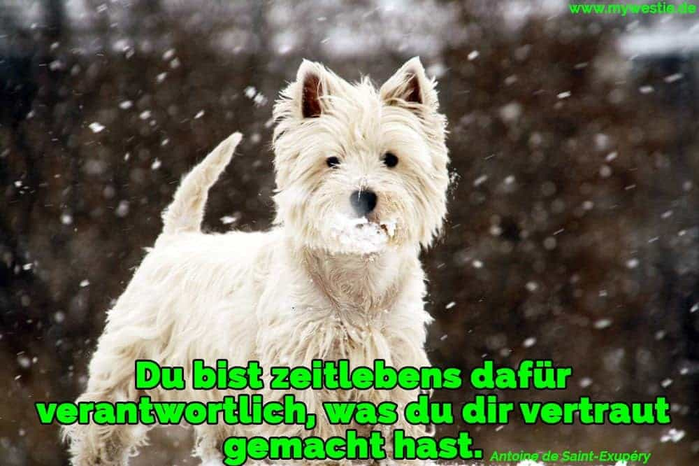 Ein Westie spielt im Schnee