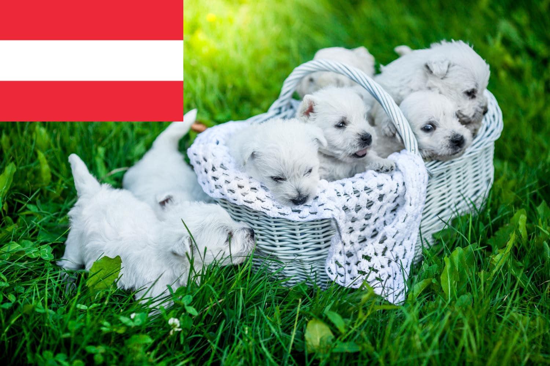Westie Welpen und Züchter in Österreich