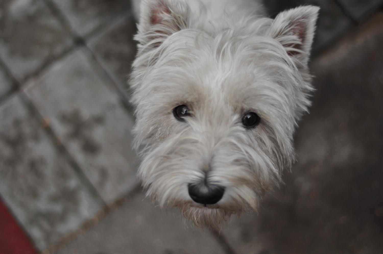 Westie in Not aus dem Tierheim, Tierschutz
